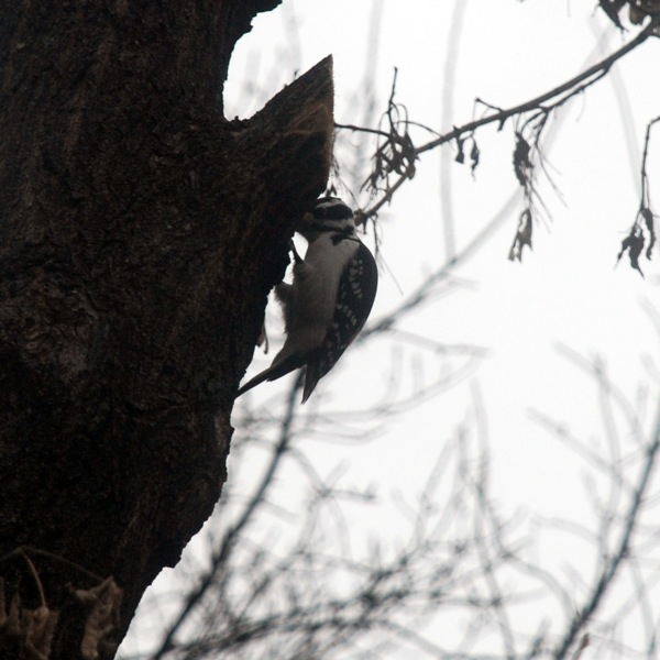 Woodpeckler1.jpg