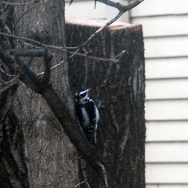 Woodpeckler2.jpg